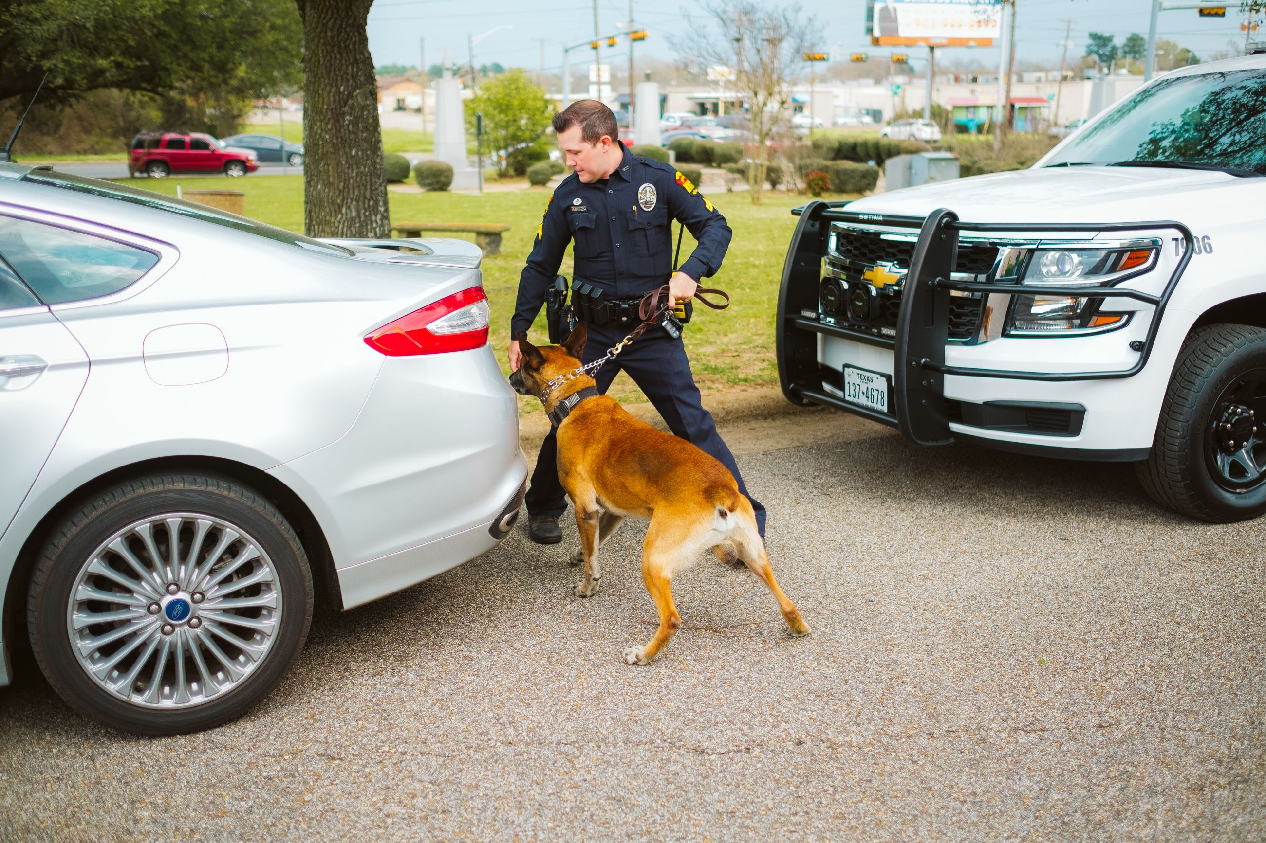 Police canine with handler conducting vehicle sniff